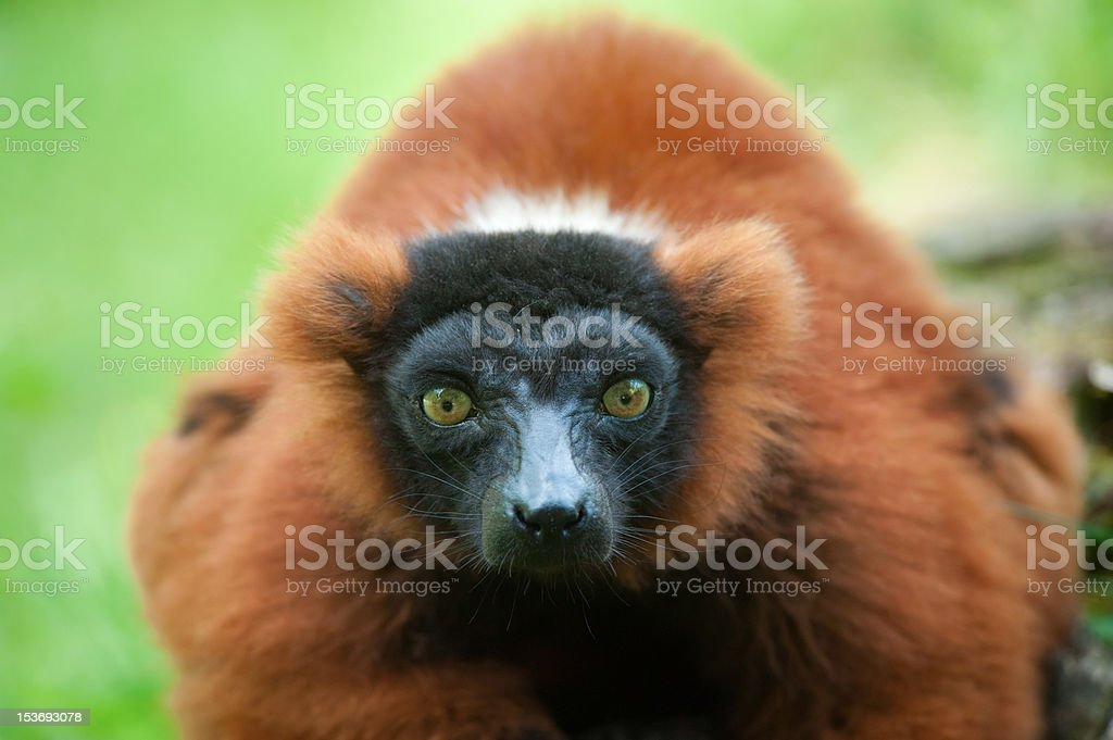 Beautiful red ruffed lemur royalty-free stock photo