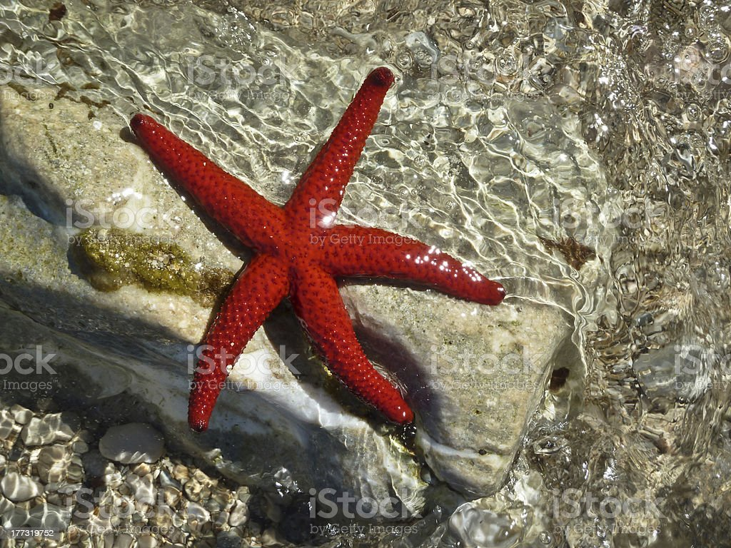 Beautiful, red starfish on a white stone stock photo
