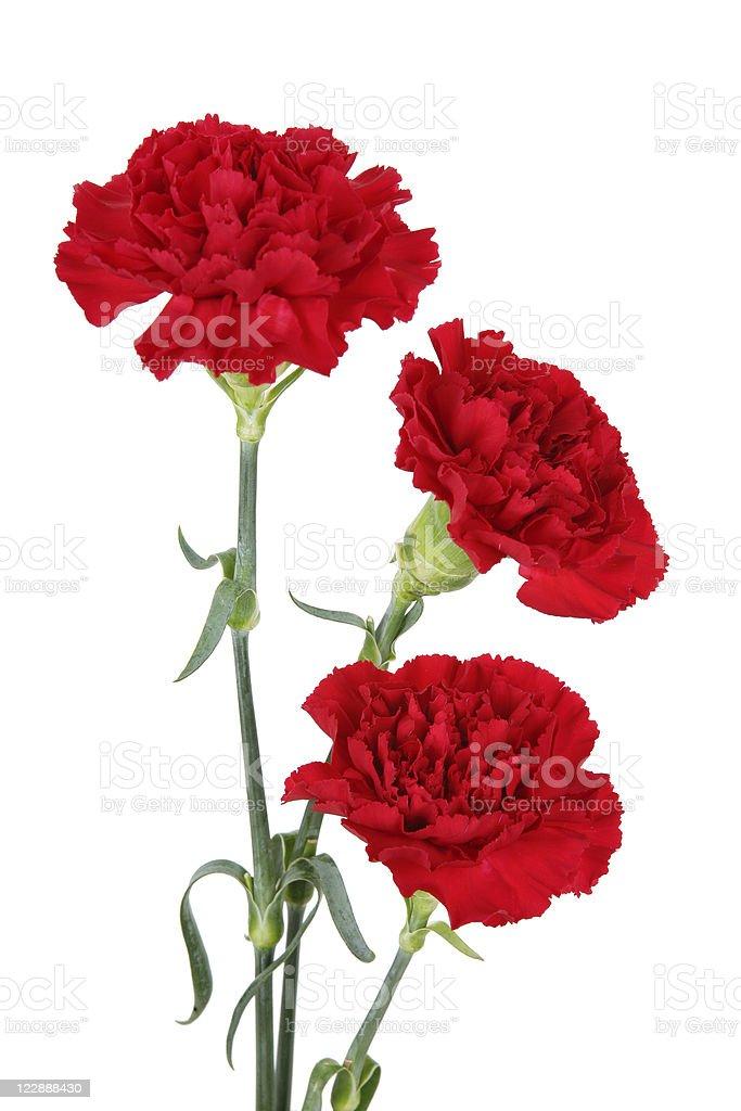 Beautiful red three carnation flowers stock photo