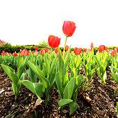 Beautiful Red Tulip Festival