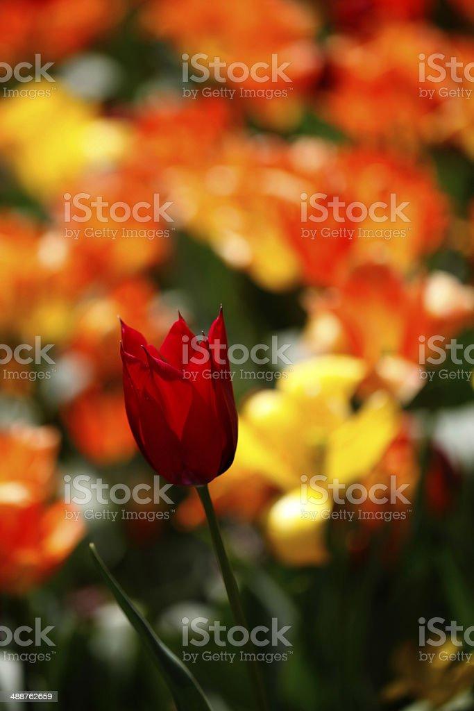 Beautiful Red Tulip stock photo