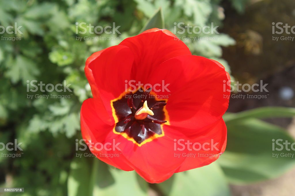 Beautiful red tulip - Stock Image. stock photo