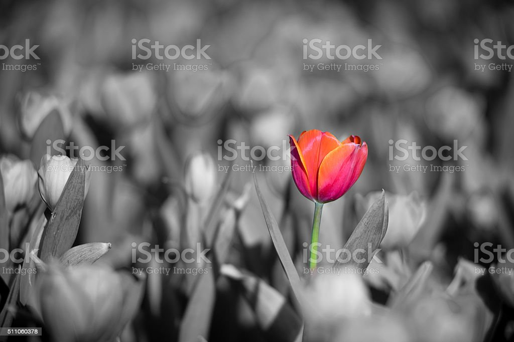 beautiful red tulip with black and white background stock photo