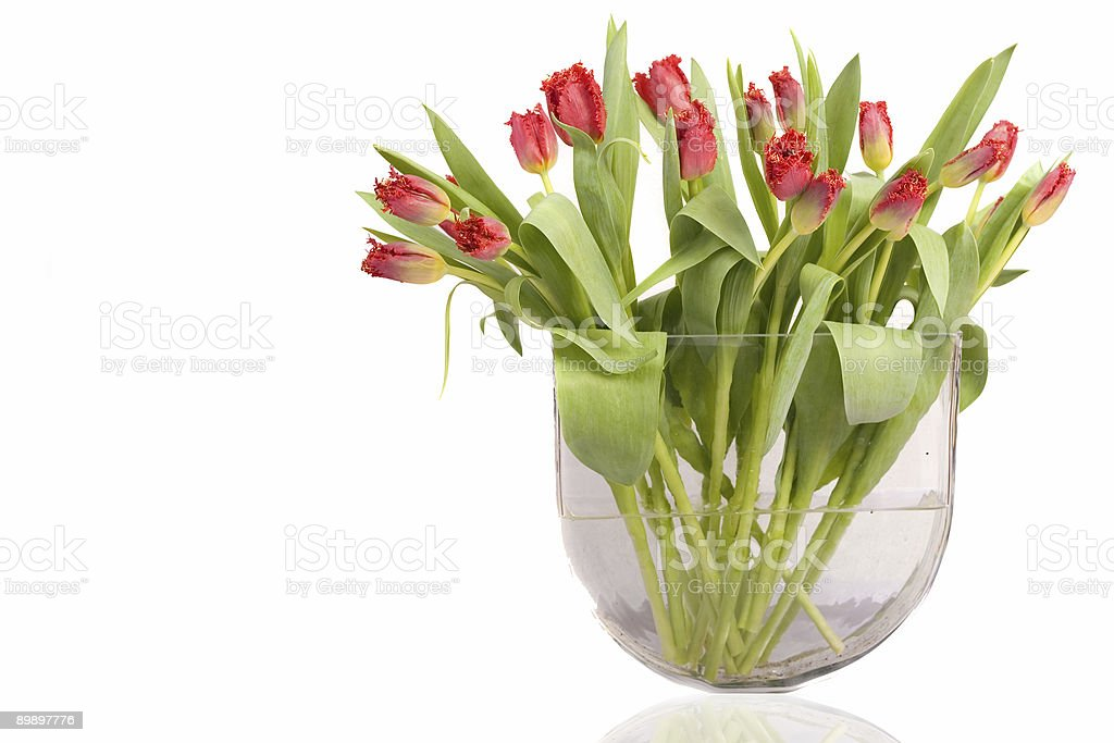Beautiful red tulips from Holland stock photo