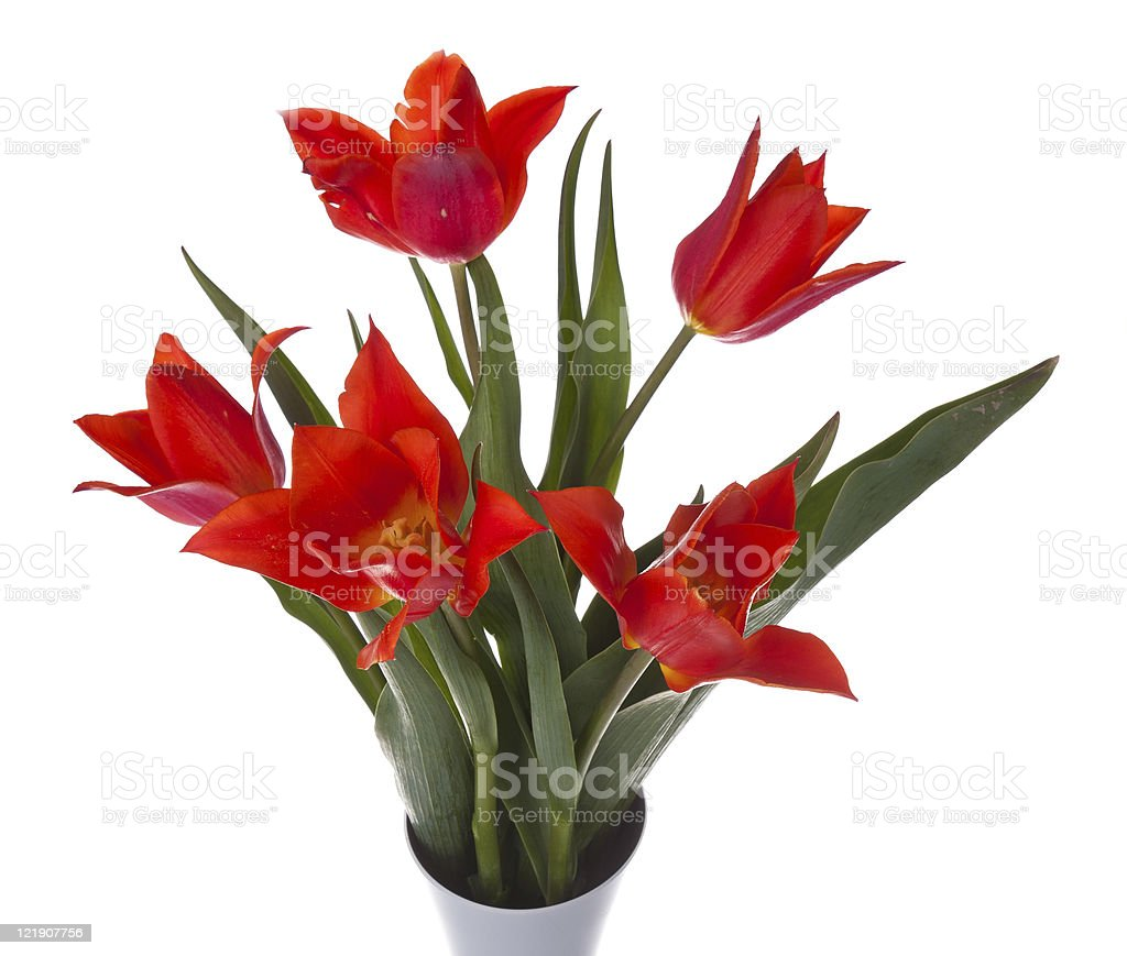 Beautiful red tulips in a vase, isolated on white royalty-free stock photo