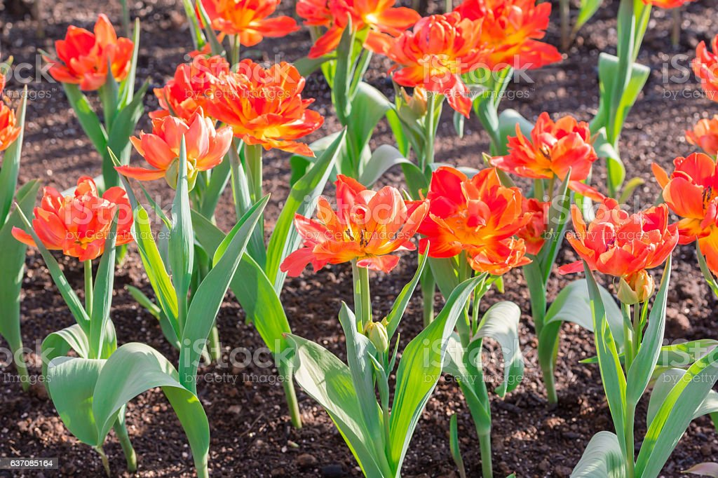 Beautiful red tulips in flowers garden. stock photo
