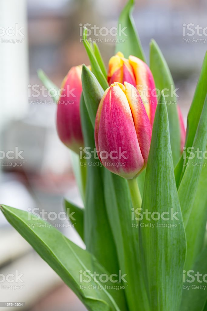 Beautiful red Tulips in springtime stock photo
