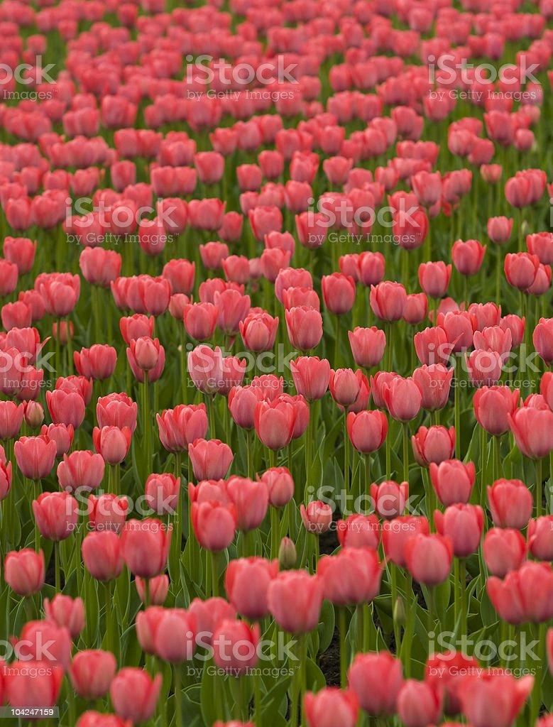 Beautiful Red Tulips. stock photo