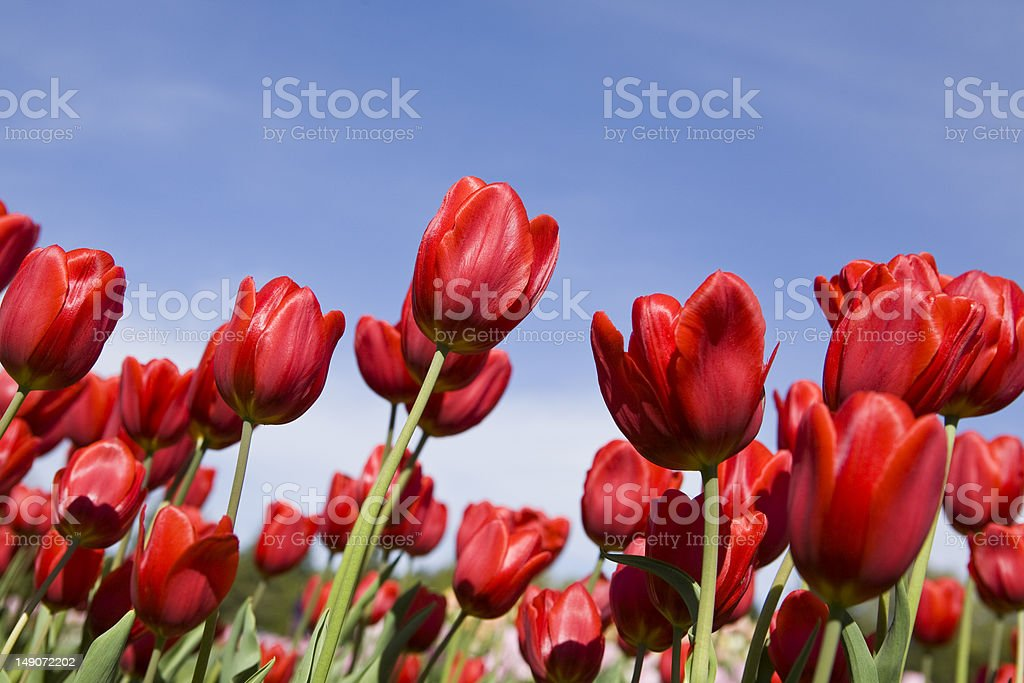 Beautiful Red Tulips royalty-free stock photo