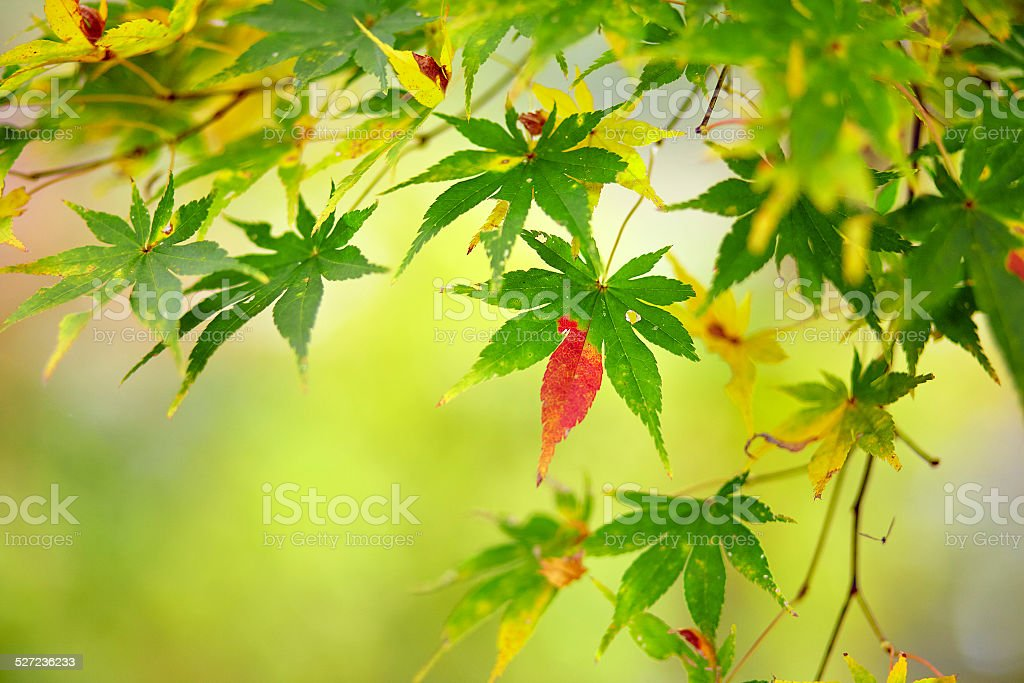 Beautiful reddening japanese maple stock photo
