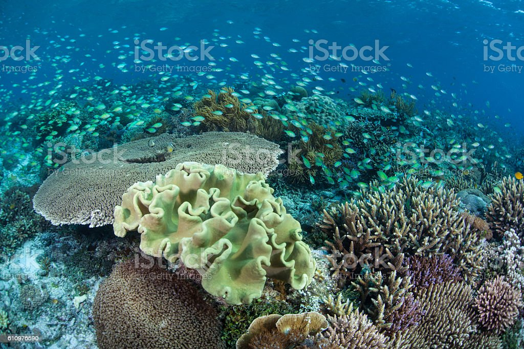 Beautiful Reef and Blue-Green Damselfish stock photo