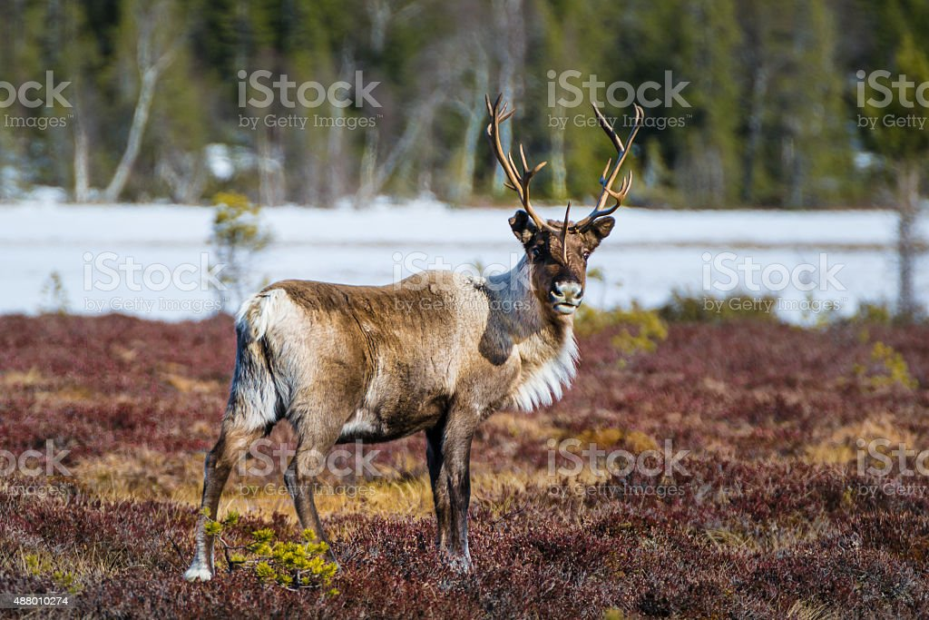 beautiful reindeer bull looking directly into the camera stock photo