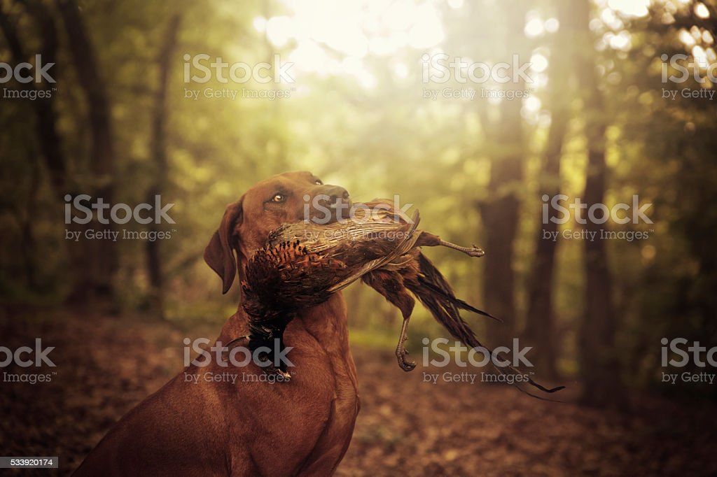 beautiful rhodesian ridgeback dog holds in its mouth pheasant hunting stock photo