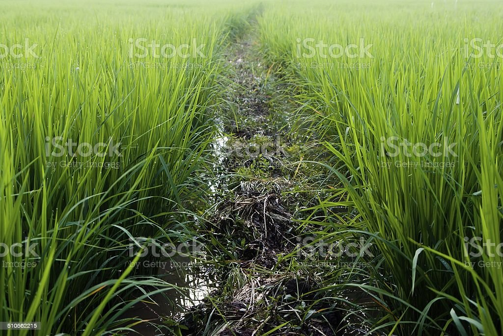 beautiful rice field in thailand stock photo
