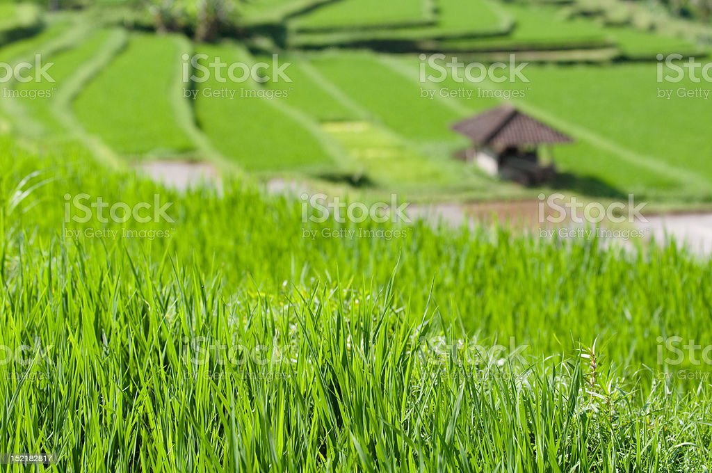 beautiful rice field terrace in bali indonesia royalty-free stock photo