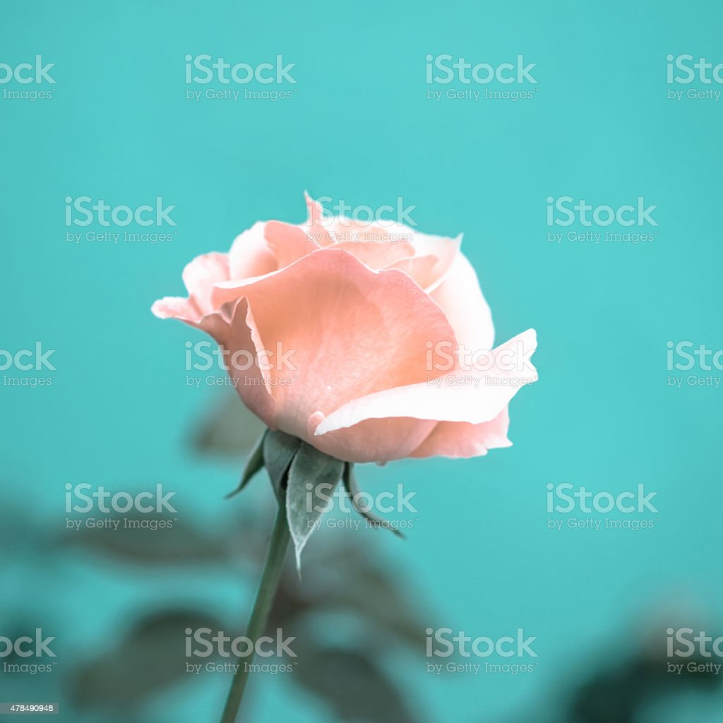 beautiful romantic pink rose flower on toned green blur stock photo