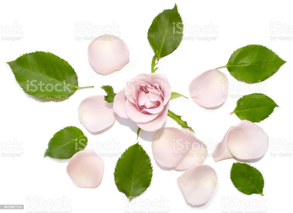 Beautiful rose bud, falling petals, fresh green leaves. stock photo