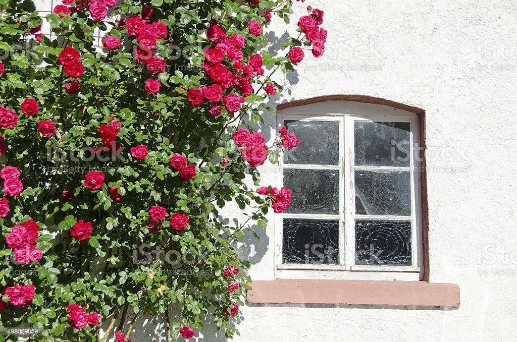beautiful rose bush near window on wall stock photo