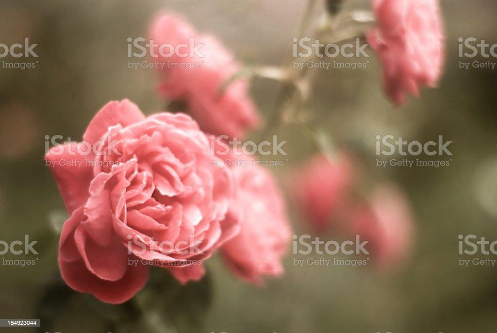 beautiful rose garden stock photo