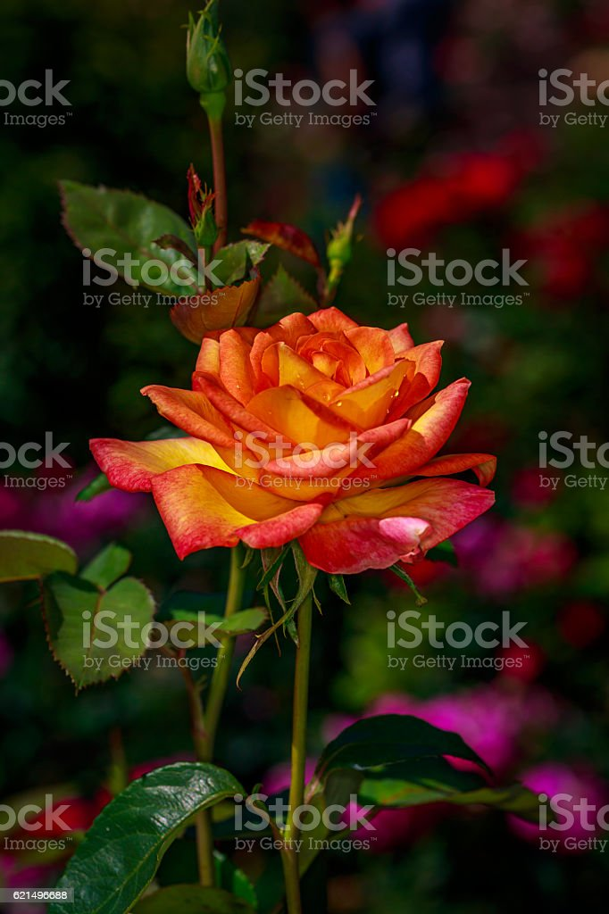Beautiful Rose in Full Blossom stock photo
