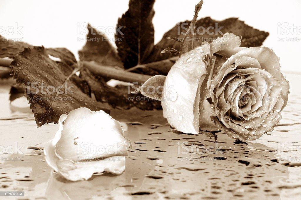 beautiful rose in sepia royalty-free stock photo