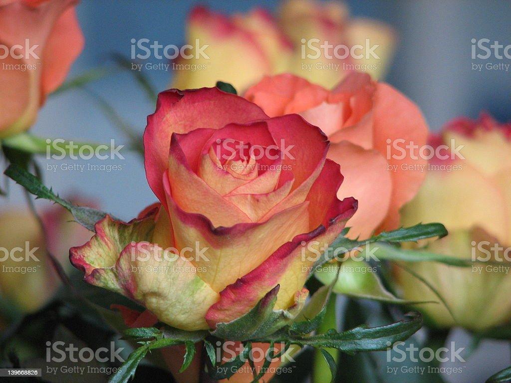 Beautiful rose stock photo