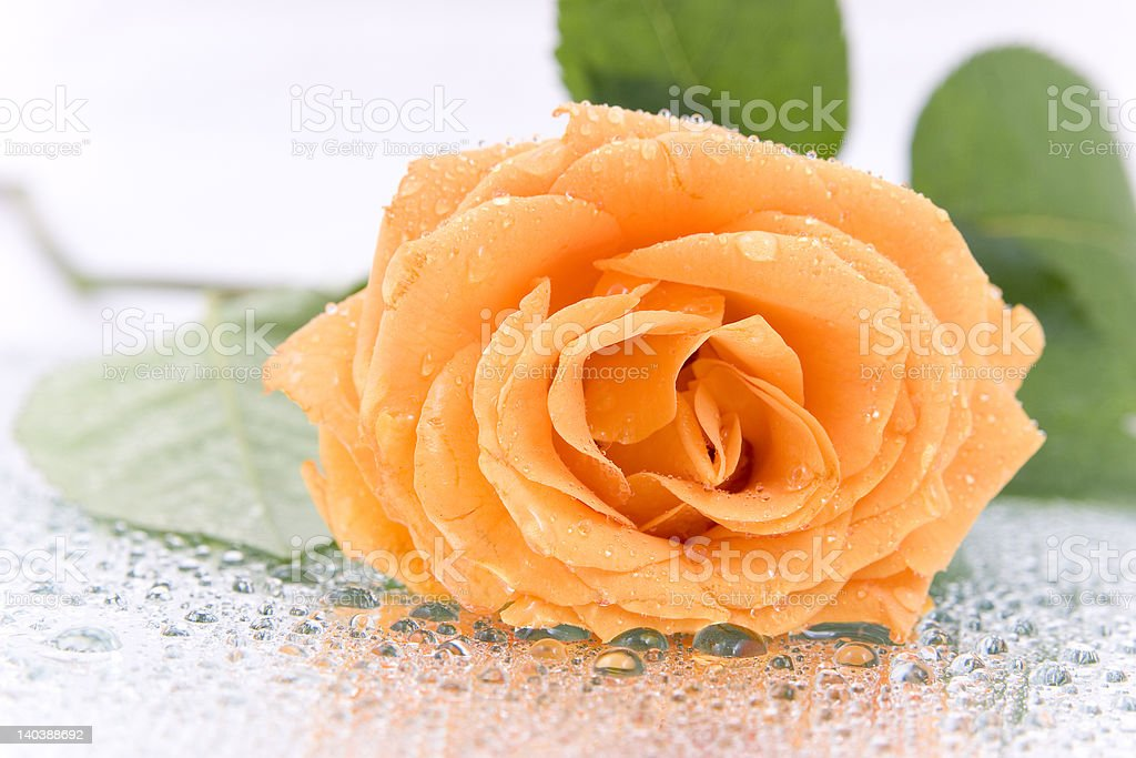 Beautiful Rose royalty-free stock photo