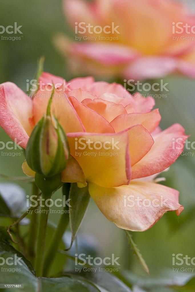 Beautiful rose series stock photo