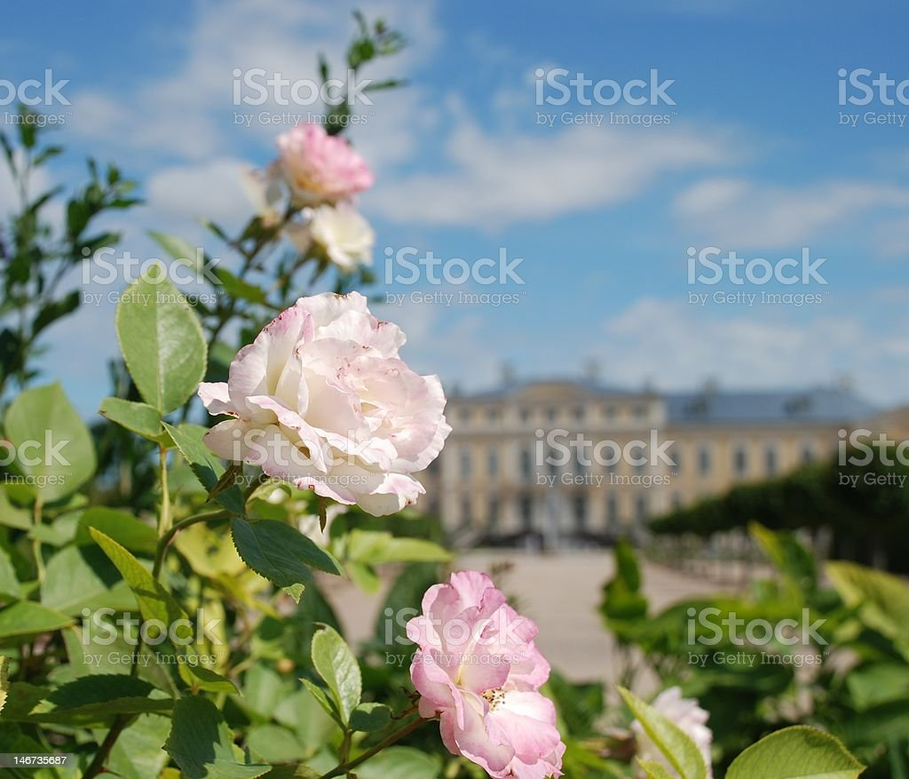 Beautiful roses and Baroque - Rococo style palace in background royalty-free stock photo