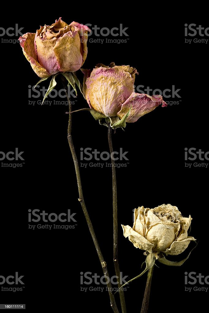 Beautiful roses in the decaying process against black background royalty-free stock photo