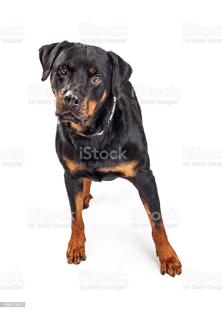 Beautiful Rottweiler Dog Over White stock photo