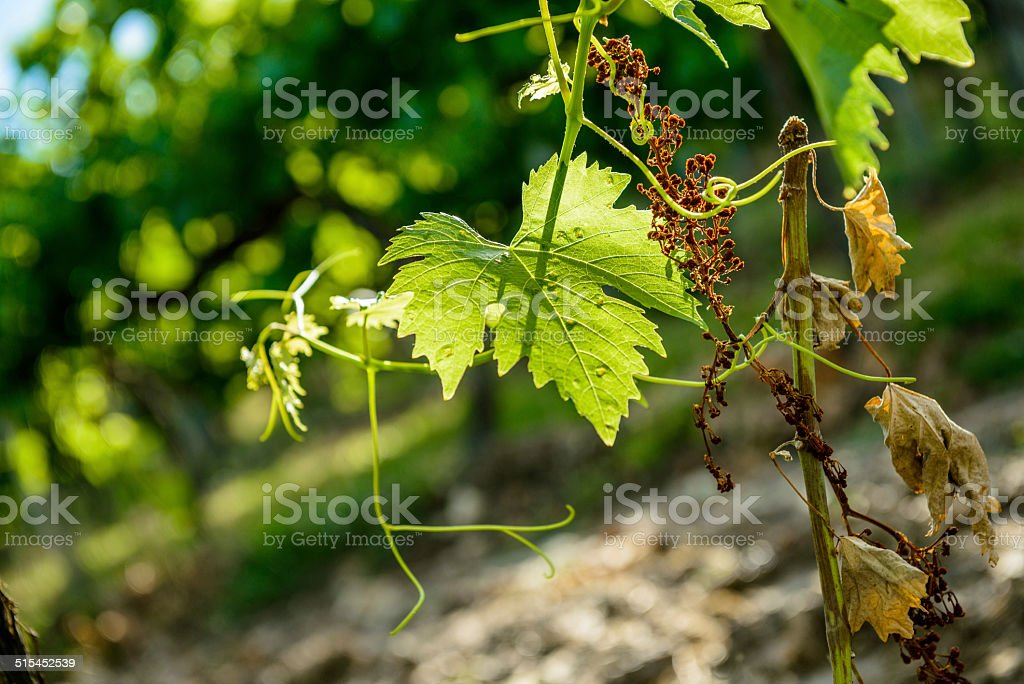 beautiful rows of grapes before harvesting  in a french vineyard royalty-free stock photo