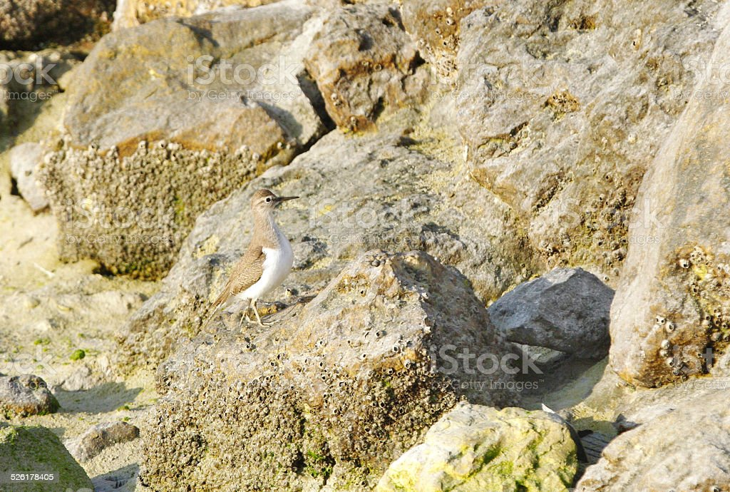 Beautiful Ruddy Turnstone Camouflaging with rock stock photo