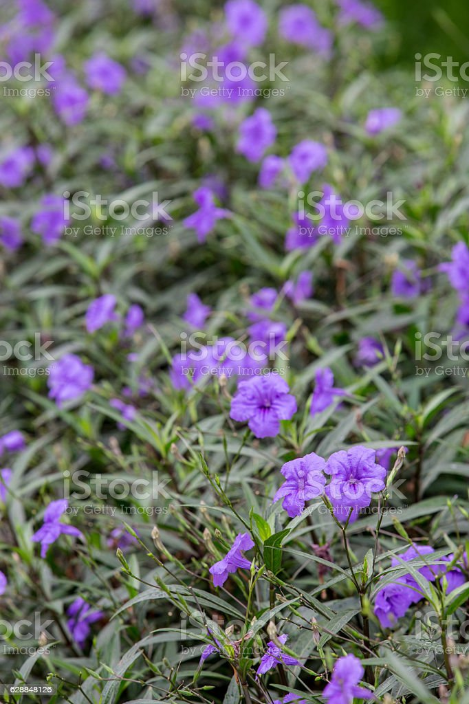 Beautiful Ruellia tuberosa or Minnie Root stock photo