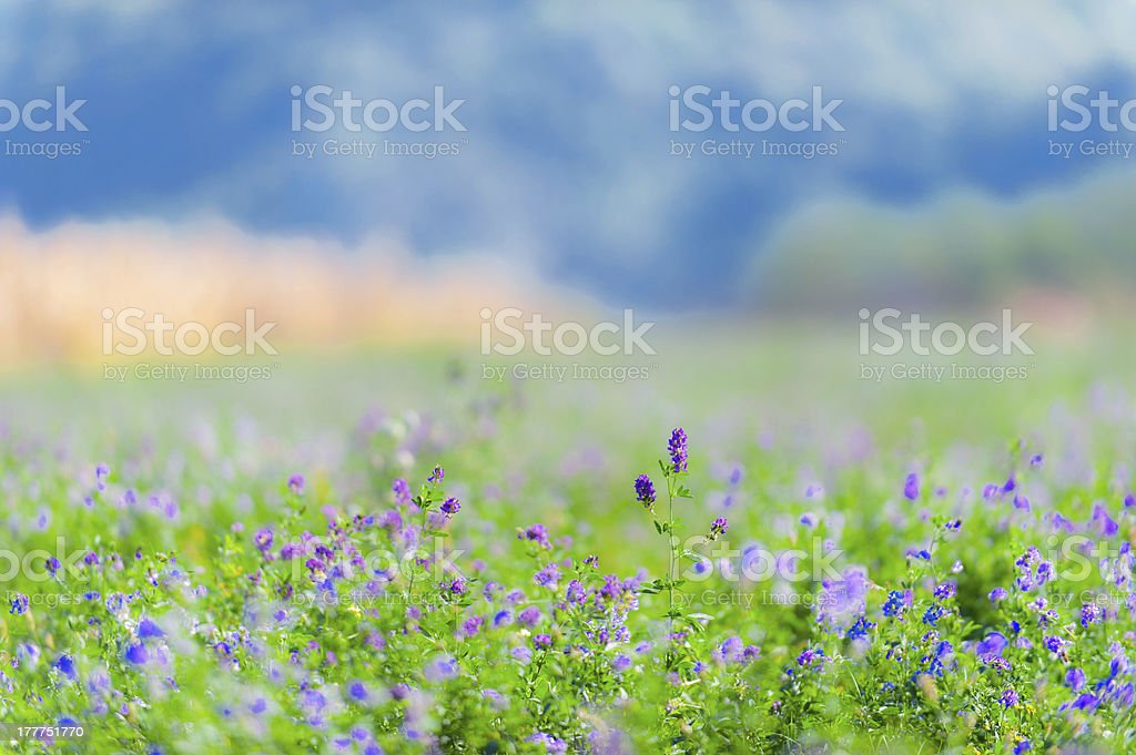 Beautiful rural field with alfalfa flowers stock photo