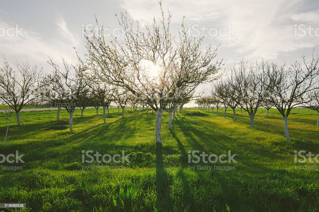Beautiful rural scene with orchard in sunset of springtime day stock photo