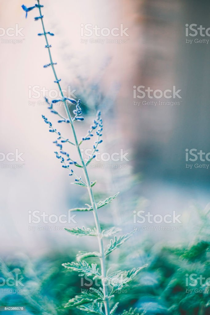 Beautiful Russian Sage plants in full bloom bathed in sunlight stock photo