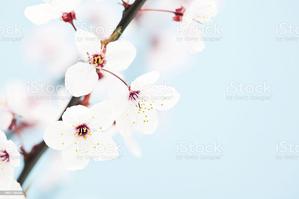 Beautiful Sakura Cherry Blossom royalty-free stock photo