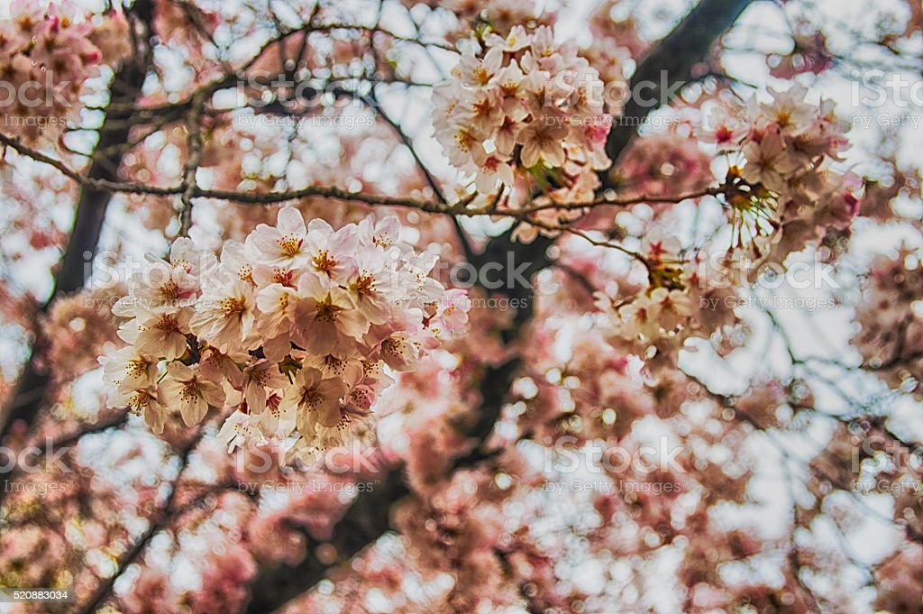 beautiful Sakura (Japanese cherry blossom). stock photo