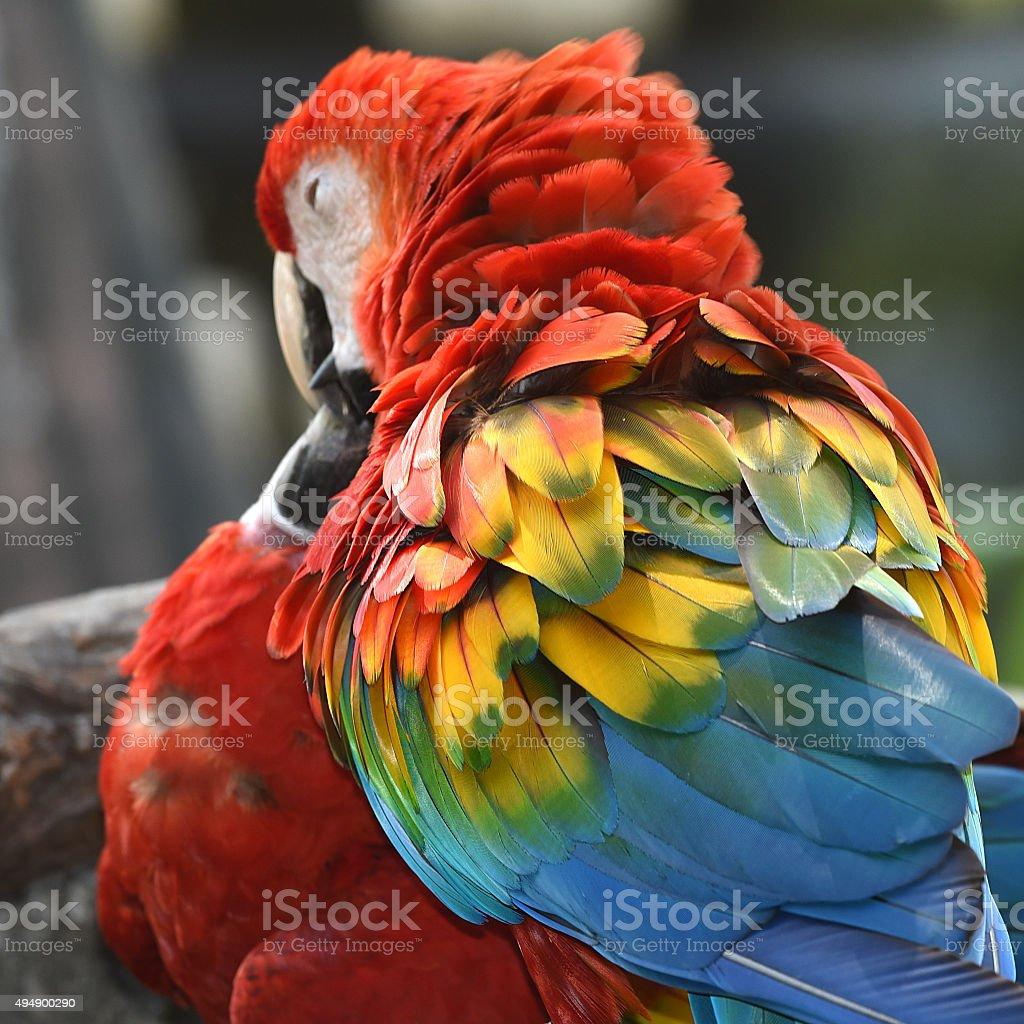 Magnifique Ara rouge photo libre de droits