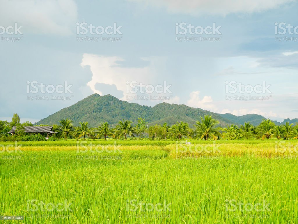 Beautiful scenery of paddy field stock photo