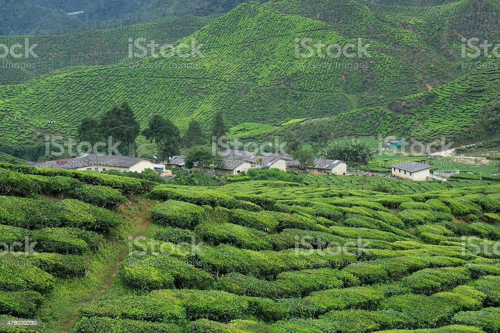 Beautiful scenery of tea plantation at Cameron Highlands, Pahang, Malaysia stock photo