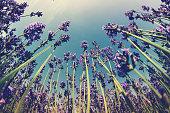 beautiful scented lavender flowers field under blue sky