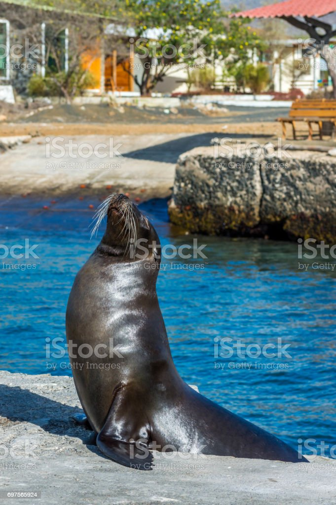 A beautiful sea lion in the Galapagos stock photo