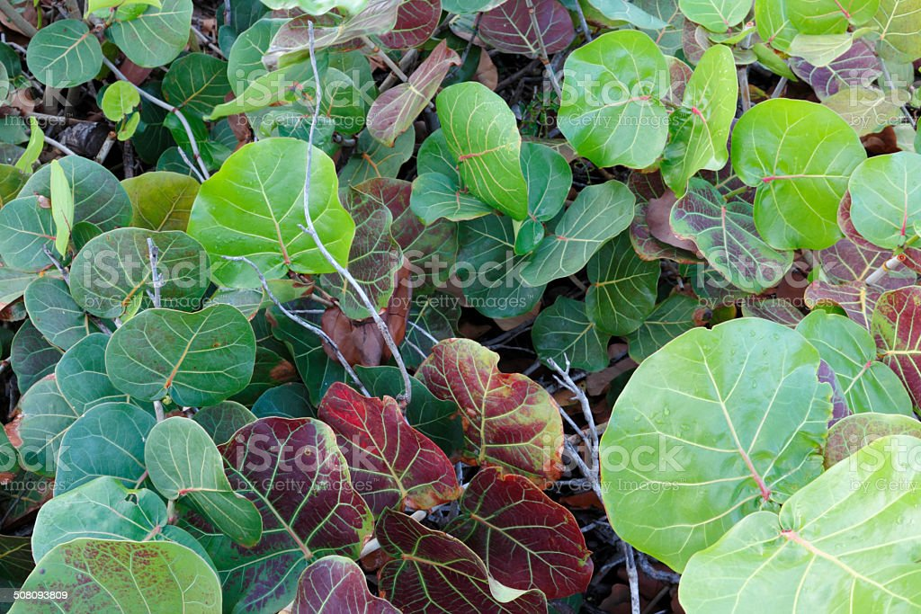 Beautiful Seagrape Leaves stock photo