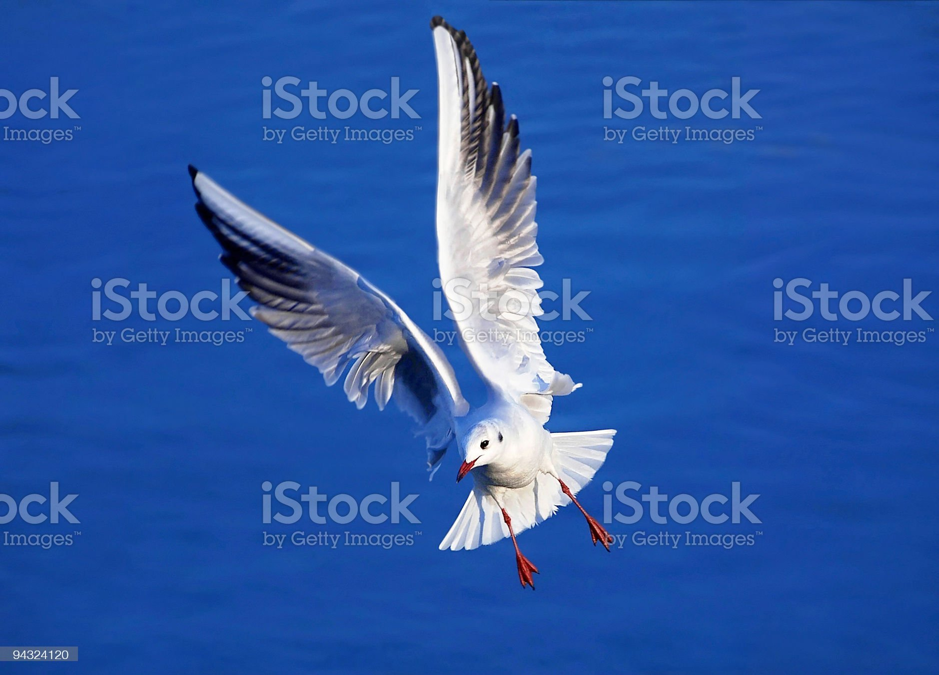 beautiful seagull with open wings royalty-free stock photo