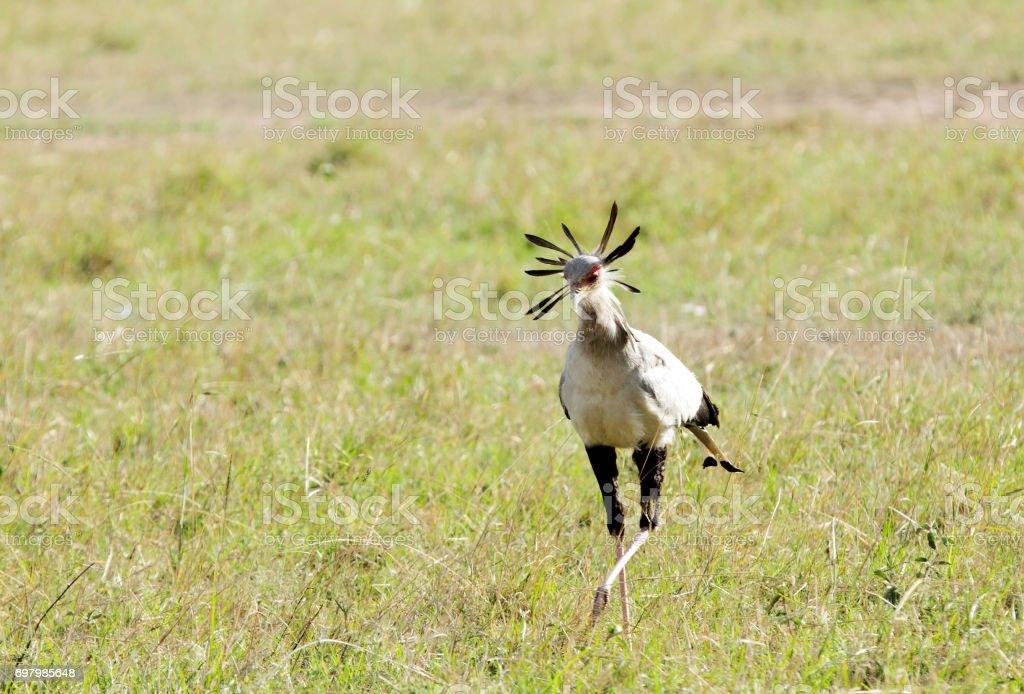 A beautiful Secretary bird in the savanna stock photo
