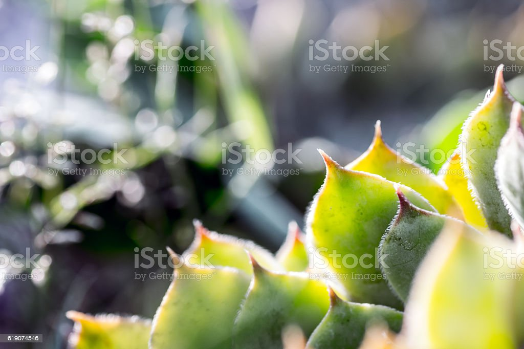 Beautiful Sempervivum succulent leaf shapes macro close-up in selective focus stock photo