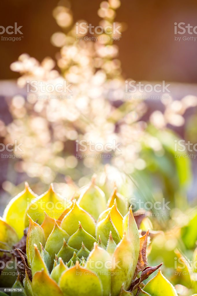 Beautiful Sempervivum succulent plant shapes macro close-up in selective focus stock photo