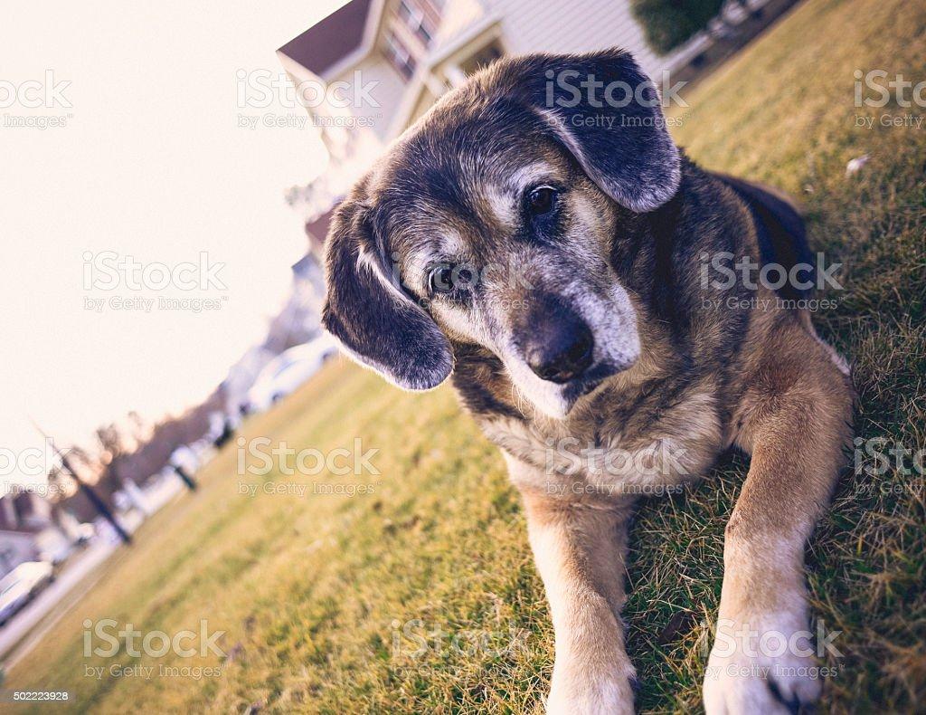 Beautiful senior dog laying in front yard stock photo